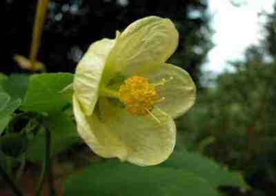 Abutilon julianae