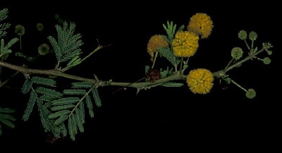 Acacia nigrescens