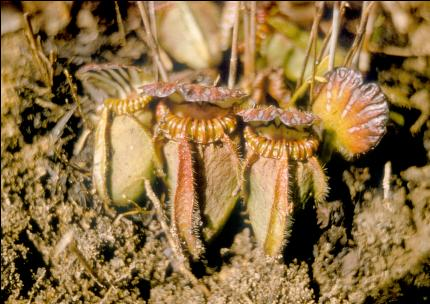 Цефалотус выращивание из семян 100