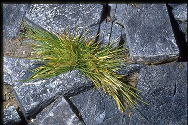 Deschampsia antarctica