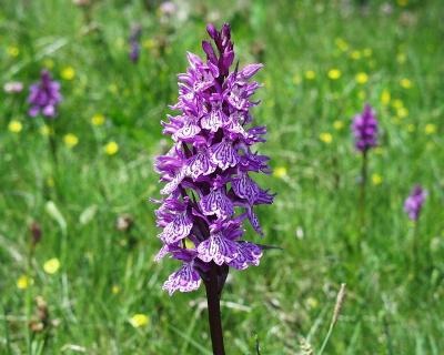Orchis (Dactylorhiza) maculata