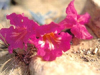 Incarvillea younghusbandii